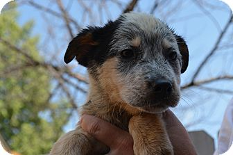 Australian Cattle Dog Mix Puppy for adoption in Westminster, Colorado - Bella