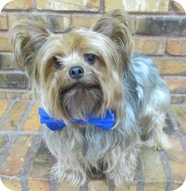 Yorkie, Yorkshire Terrier Dog for adoption in Benbrook, Texas - Jimmy