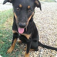 Adopt A Pet :: Gracie - Norman, OK