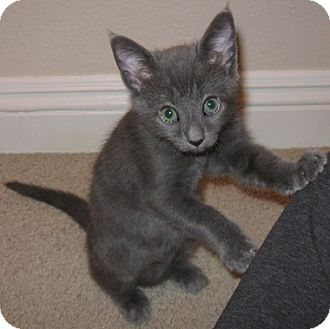 Domestic Shorthair Kitten for adoption in North Highlands, California - Pratt