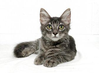 Domestic Mediumhair Kitten for adoption in Lufkin, Texas - Heidi