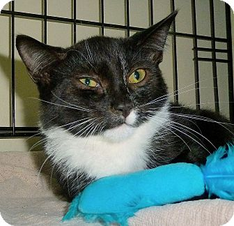 Domestic Shorthair Cat for adoption in Carmel, New York - Pookie