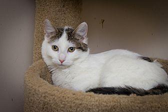 Domestic Shorthair Cat for adoption in Chicago, Illinois - Adam