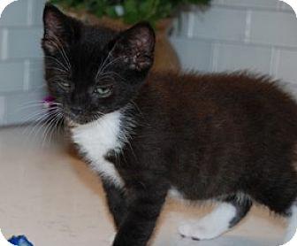 Domestic Shorthair Kitten for adoption in Walworth, New York - Finn