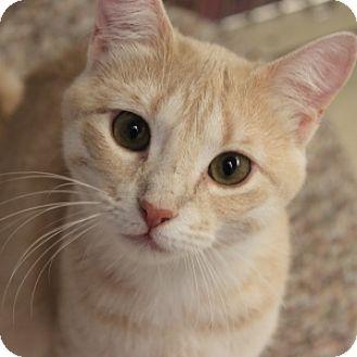 Domestic Shorthair Kitten for adoption in Naperville, Illinois - Jill