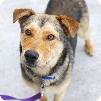 Shepherd (Unknown Type)/German Shepherd Dog Mix Dog for adoption in Detroit, Michigan - McNaulty-Adopted!