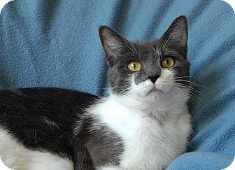 Domestic Shorthair Cat for adoption in Winchendon, Massachusetts - Felicity
