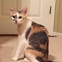 Calico Cat for adoption in Fenton, Missouri - Charlotte