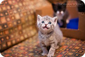Domestic Shorthair Kitten for adoption in Fredericksburg, Virginia - Pooh