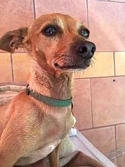 Chihuahua Mix Dog for adoption in North Hollywood, California - Amy & Wally