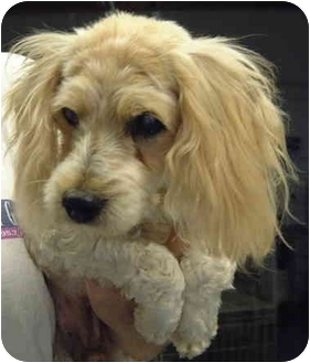 Cockapoo Mix Dog for adoption in San Diego (all areas), California - Bernie-ADOPTED!!!