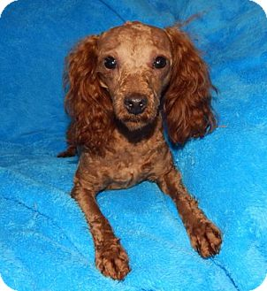 Toy Poodle Puppy for adoption in Old Fort, North Carolina - Marley