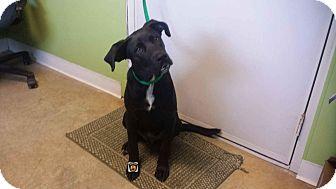 Labrador Retriever Mix Dog for adoption in Moberly, Missouri - Shroud