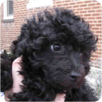 Poodle (Miniature) Puppy for adoption in House Springs, Missouri - Genevive