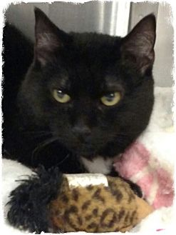 Domestic Shorthair Cat for adoption in Pueblo West, Colorado - Keb Mo