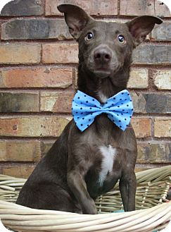 Chihuahua Mix Dog for adoption in Benbrook, Texas - Grant