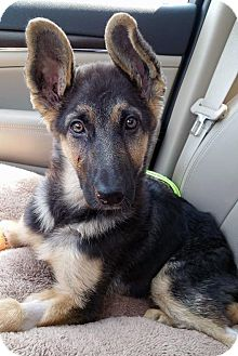 German Shepherd Dog Mix Puppy for adoption in Detroit, Michigan - Amelia-Adopted!