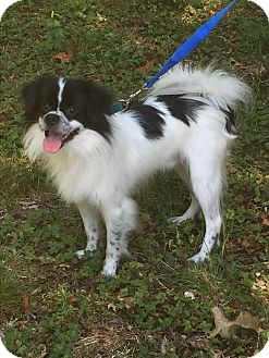 Border Collie/Pekingese Mix Dog for adoption in Greensboro, Maryland - George