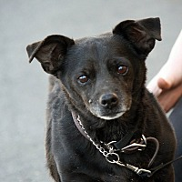 Chihuahua Mix Dog for adoption in Palmdale, California - Blackie
