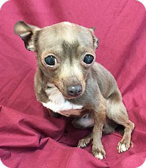 Chihuahua Dog for adoption in Springfield, Vermont - Ion