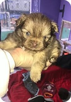 Pekingese/Pomeranian Mix Puppy for adoption in Gallatin, Tennessee - London