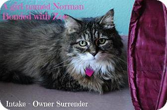 Domestic Longhair Cat for adoption in Hamilton, Ontario - Norman