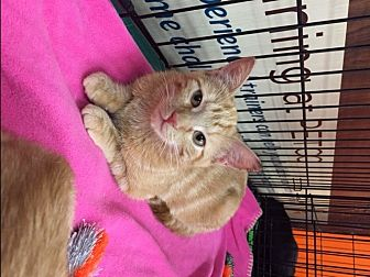 Domestic Shorthair Cat for adoption in Little Falls, New Jersey - Figgy (LE)