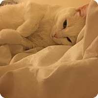 Domestic Shorthair Cat for adoption in New York, New York - Kilo *Courtesy Post*