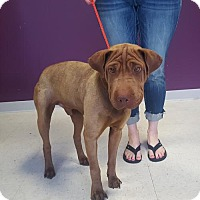 Shar Pei Mix Dog for adoption in Maple Grove, Minnesota - Chopper