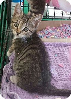 Domestic Shorthair Kitten for adoption in New Smyrna Beach, Florida - Catsy Cline