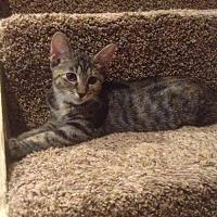 Adopt A Pet :: Sophia (2) - Pendleton, NY
