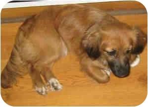Sheltie, Shetland Sheepdog/Cocker Spaniel Mix Puppy for adoption in Proctorville, Ohio, Ohio - Dixie