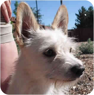 Cairn Terrier Mix Dog for adoption in Reno, Nevada - Charger