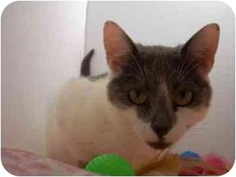 Domestic Shorthair Cat for adoption in North Charleston, South Carolina - Vickie