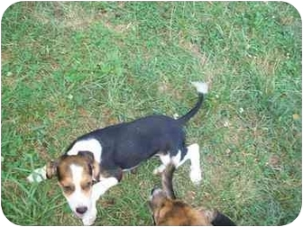 Beagle/Setter (Unknown Type) Mix Puppy for adoption in Portland, Maine - Inky