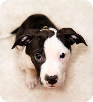 American Pit Bull Terrier/Dalmatian Mix Puppy for adoption in Los Angeles, California - Curtis