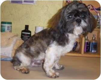 Shih Tzu Dog for adoption in Broken Bow, Oklahoma - Wiley