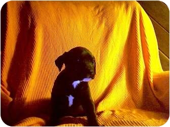 Labrador Retriever Mix Puppy for adoption in Jay, Maine - Puppies