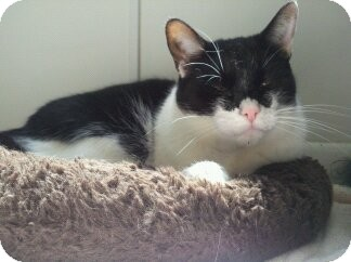 Domestic Shorthair Cat for adoption in Richboro, Pennsylvania - Toots