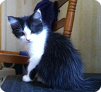 Domestic Longhair Kitten for adoption in Beacon, New York - Miss American (reduced to $65