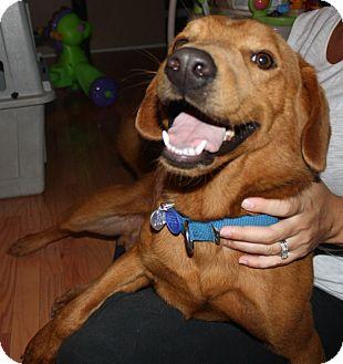 Nova Scotia Duck-Tolling Retriever/Golden Retriever Mix Dog for adoption in Hamburg, Pennsylvania - Dandy