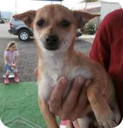 Chihuahua/Pomeranian Mix Dog for adoption in Anza, California - Chi/Pom  Male