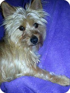 Silky Terrier/Cairn Terrier Mix Dog for adoption in Bridgeton, Missouri - Twinkle