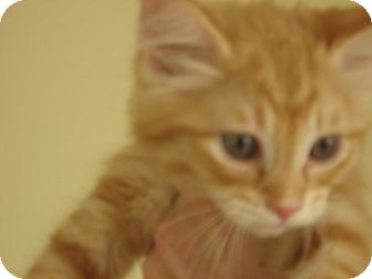 Maine Coon Kitten for adoption in Huffman, Texas - Jerry