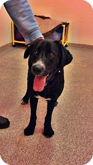 Bernese Mountain Dog/Labrador Retriever Mix Dog for adoption in Gig Harbor, Washington - Freya *new pics*