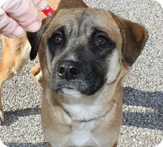 Pug/Labrador Retriever Mix Dog for adoption in Acushnet, Massachusetts - Sandy