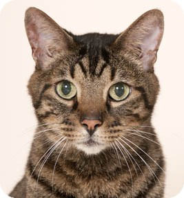 Domestic Shorthair Cat for adoption in Chicago, Illinois - Buddy