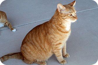 Domestic Shorthair Cat for adoption in Tucson, Arizona - Raz