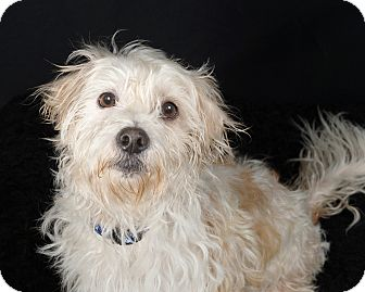 Terrier (Unknown Type, Small)/Cocker Spaniel Mix Dog for adoption in Dedham, Massachusetts - Jolly