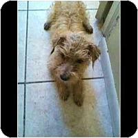 Adopt A Pet :: Brownie - Miami Beach, FL